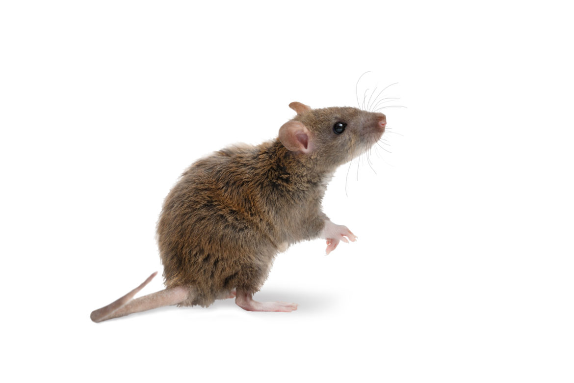 How do I keep rats & mice out of my home this winter?